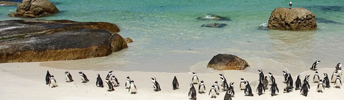 Penguins at Boulders beach in Cape Town la Baia